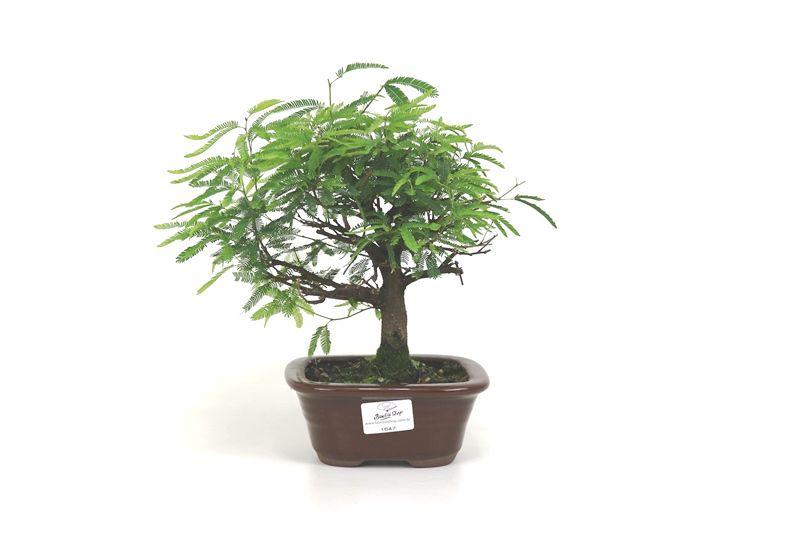 Bonsai Caliandra Rosa 03  anos - medida da planta (AxL) 20x21 cm