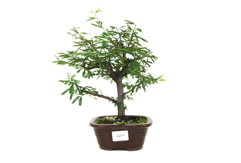 Bonsai Caliandra Rosa 03 anos - medida da planta (AxL) 20x22 centímetros