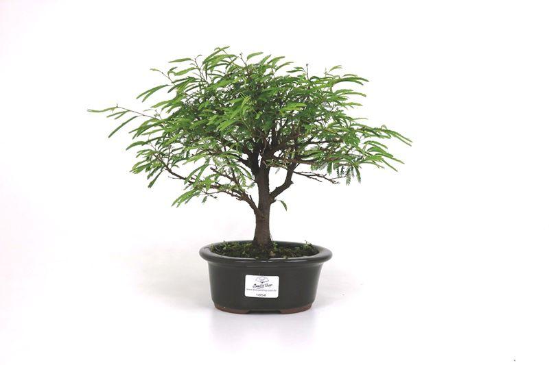 Bonsai Caliandra Rosa 03  anos - medida da planta (AxL) 20x23 cm