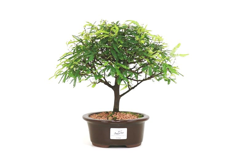 Bonsai Caliandra Rosa 03  anos - medida da planta (AxL) 20x25 cm