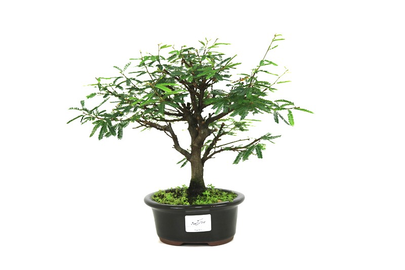 Bonsai Caliandra Rosa 03 anos - medida da planta (AxL) 20x27 centímetros