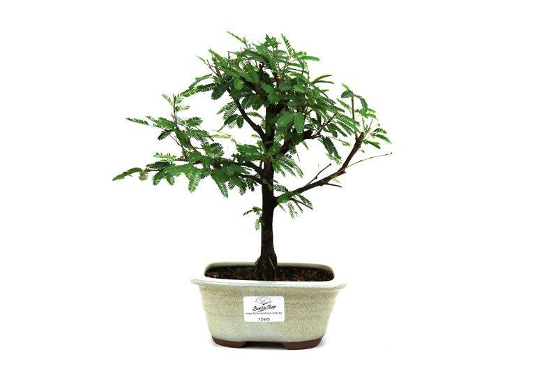 Bonsai Caliandra Rosa 03  anos - medida da planta (AxL) 21x20 centímetros
