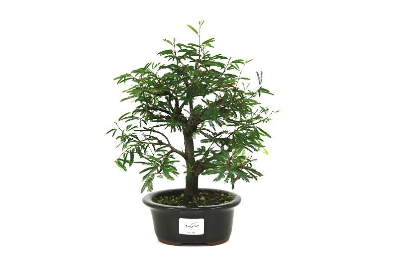 Bonsai Caliandra Rosa 03 anos - medida da planta (AxL) 21x22 centímetros