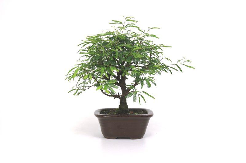 Bonsai Caliandra Rosa 03  anos - medida da planta (AxL) 21x27 cm