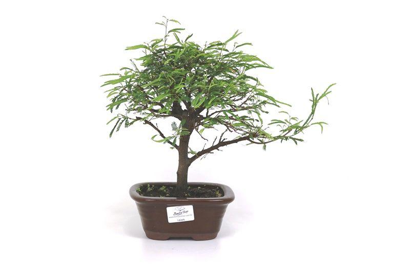 Bonsai Caliandra Rosa 03  anos - medida da planta (AxL) 22x26 cm