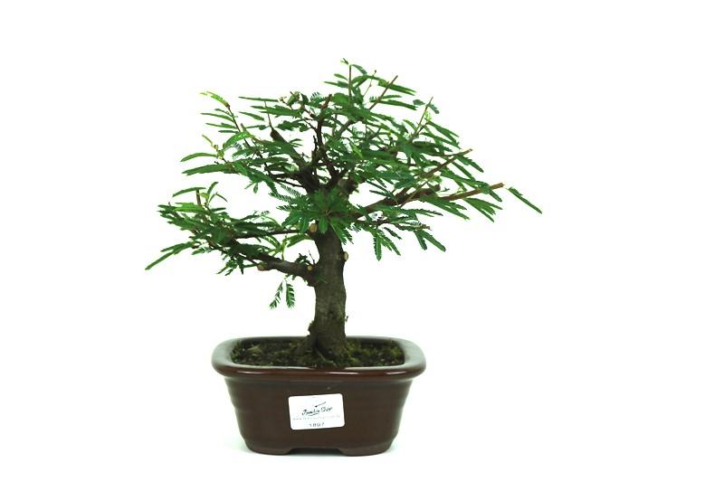 Bonsai Caliandra Rosa 03 anos - medida da planta (AxL) 24x21 centímetros