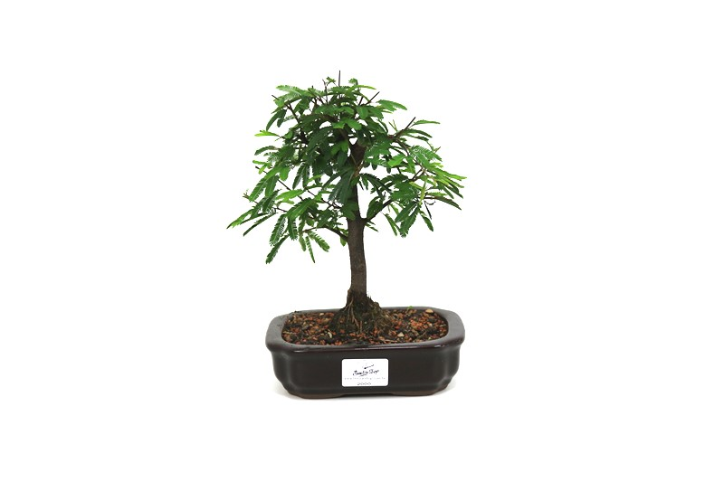 Bonsai Caliandra Rosa 04 anos - medida da planta (AxL) 19x18 cm