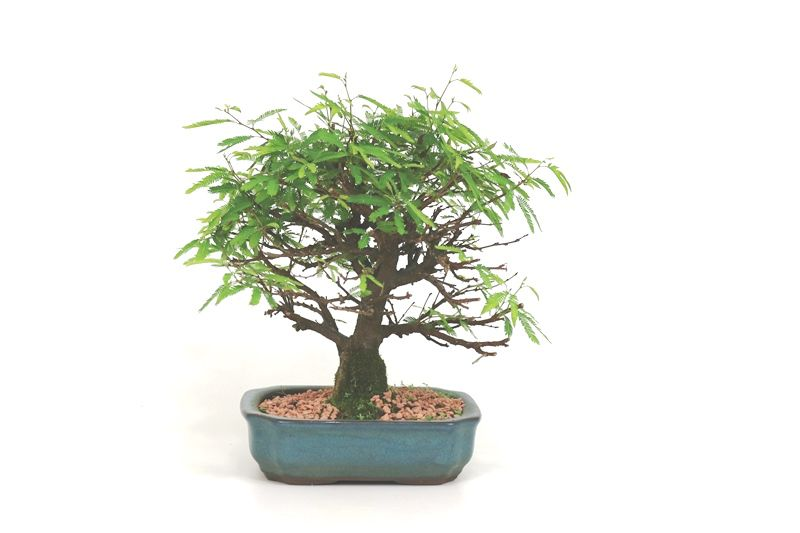Bonsai Caliandra Rosa 04 anos - medida da planta (AxL) 20x18 cm