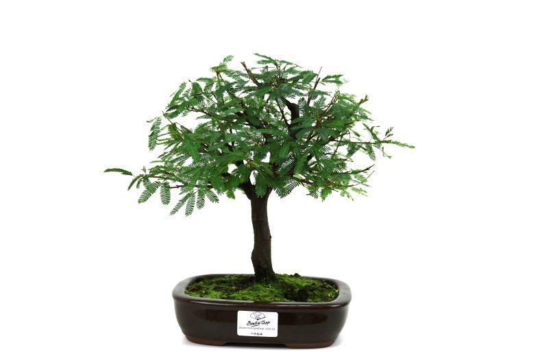 Bonsai Caliandra Rosa 04 anos - medida da planta (AxL) 21x22 centímetros