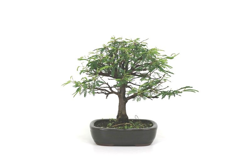Bonsai Caliandra Rosa 04 anos - medida da planta (AxL) 21x22 cm