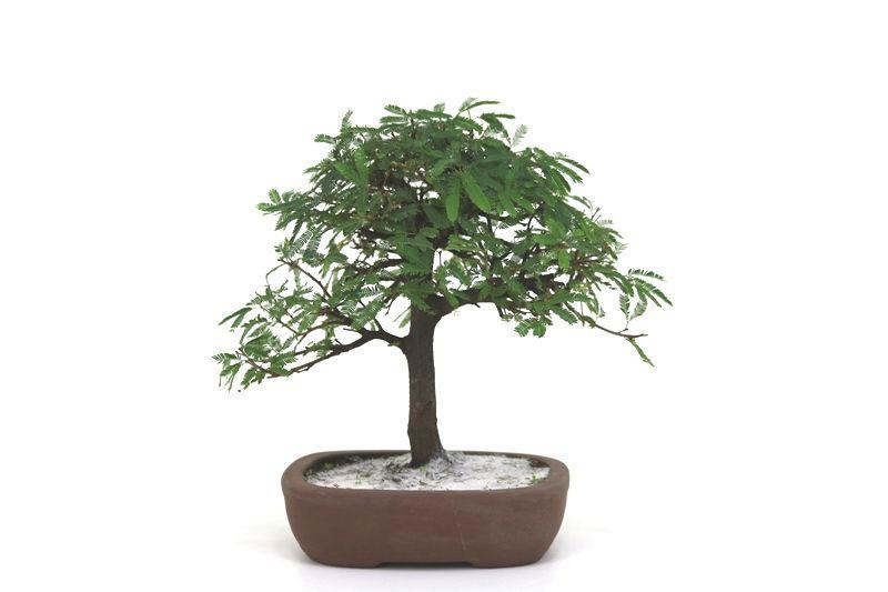 Bonsai Caliandra Rosa 04 anos - medida da planta (AxL) 21x24 cm