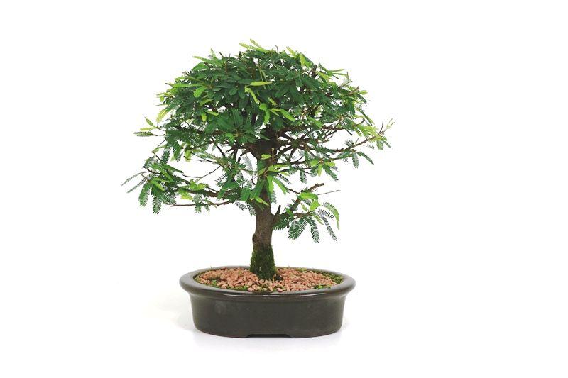 Bonsai Caliandra Rosa 04 anos - medida da planta (AxL) 22x22 cm
