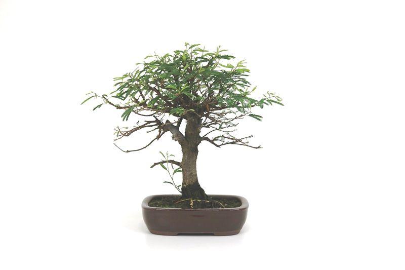 Bonsai Caliandra Rosa 04 anos - medida da planta (AxL) 22x23 cm