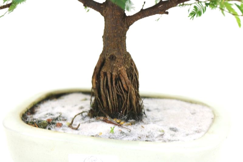 Bonsai Caliandra Rosa 04 anos - medida da planta (AxL) 22x24 cm