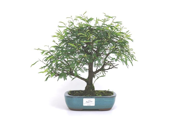 Bonsai Caliandra Rosa 04 anos - medida da planta (AxL) 22x26 cm