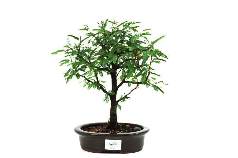 Bonsai Caliandra Rosa 04 anos - medida da planta (AxL) 23x23 centímetros
