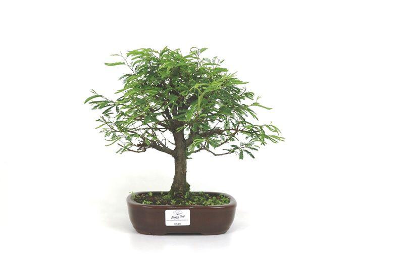 Bonsai Caliandra Rosa 04 anos - medida da planta (AxL) 23x23 cm