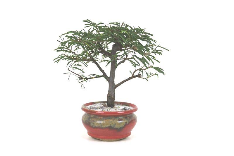 Bonsai Caliandra Rosa 04 anos Vaso Sergio Onodera - medida da planta (AxL) 17x20 cm