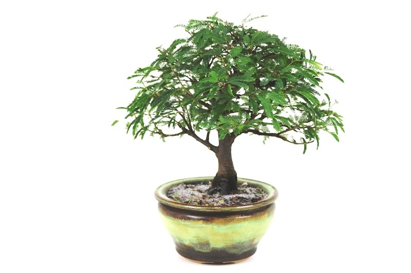 Bonsai Caliandra Rosa 04 anos Vaso Sergio Onodera - medida da planta (AxL) 18x23 cm