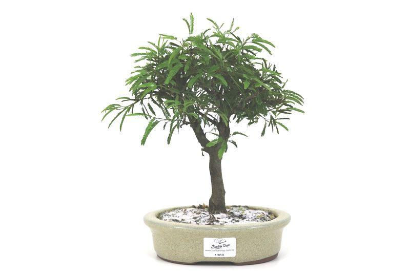 Bonsai Caliandra Rosa 05 anos - medida da planta (AxL) 21x20 centímetros