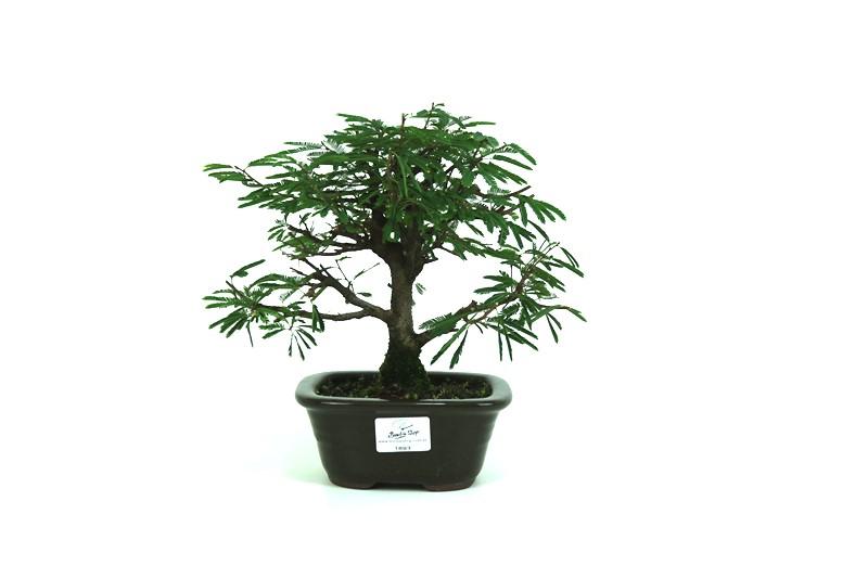 Bonsai Caliandra Rosa 03 anos - medida da planta (AxL) 23x20 centímetros
