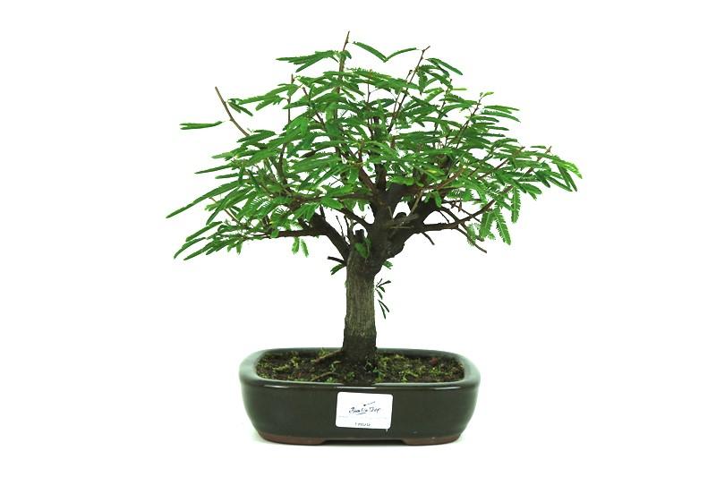 Bonsai Caliandra Rosa 05 anos - medida da planta (AxL) 25x25 centímetros