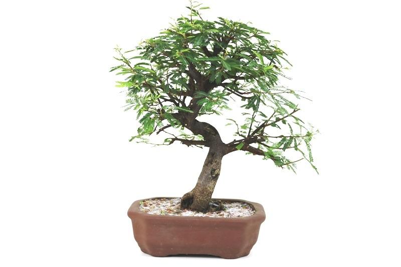 Bonsai Caliandra Rosa 05 anos - medida da planta (AxL) 26x27 cm