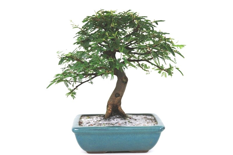 Bonsai Caliandra Rosa 06 anos - medida da planta (AxL) 26x29 cm