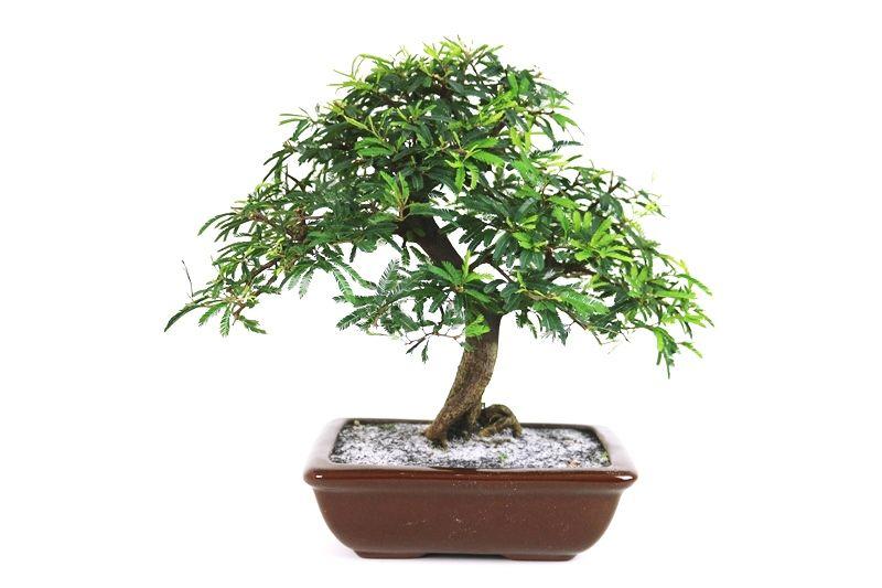 Bonsai Caliandra Rosa 07 anos - medida da planta (AxL) 25x31 cm