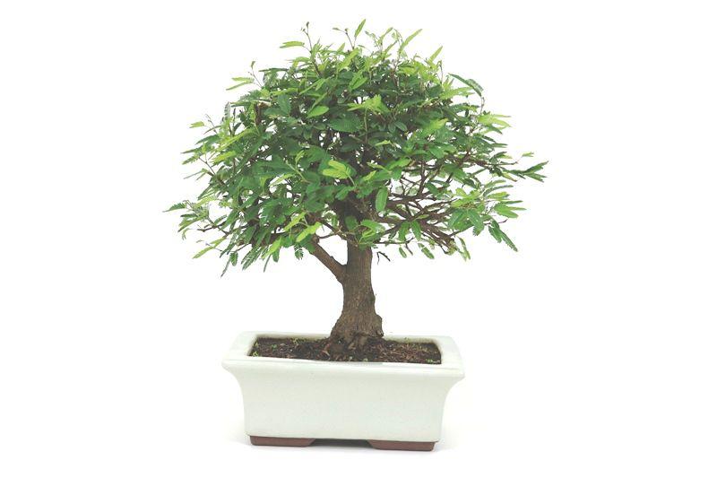 Bonsai Caliandra Rosa 07 anos - medida da planta (AxL) 28x30 cm