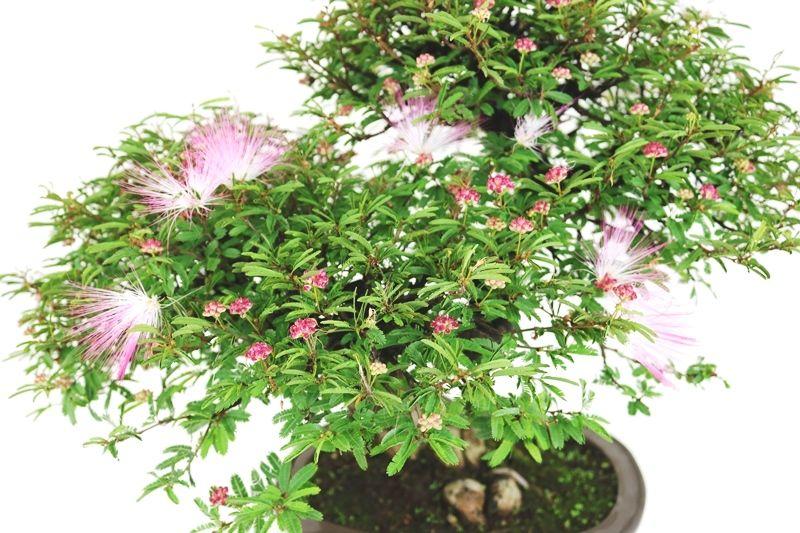 Bonsai Caliandra rosa 18 anos - medida da planta (AxL) 45x60 cm