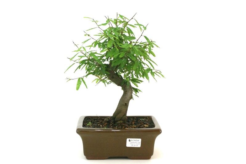 Bonsai Caliandra Rosa aproximadamente 08 anos - medida da planta (AxL) 23x21 cm