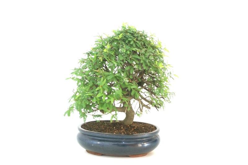 Bonsai Caliandra rosa aproximadamente 15 anos - medida da planta (AxL) 30x32 cm