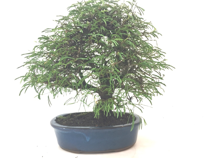 Bonsai Caliandra rosa aproximadamente 15 anos - medida da planta (AxL) 32x36 cm (Onorio)