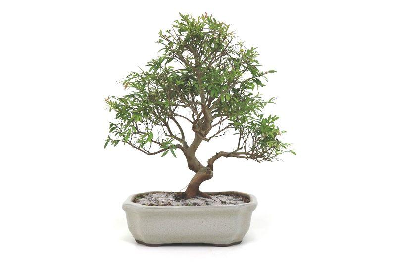 Bonsai Cambui  06 anos - medida da planta (AxL) 25x25 centímetros