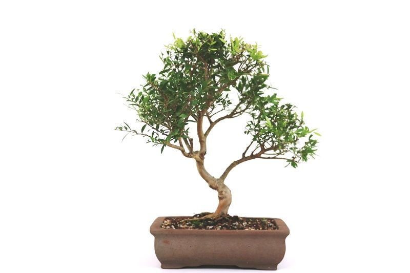 Bonsai Cambui  06 anos - medida da planta (AxL) 27x26 cm