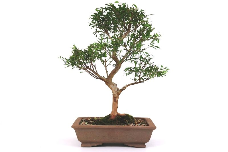 Bonsai Cambui  06 anos - medida da planta (AxL) 28x24 cm