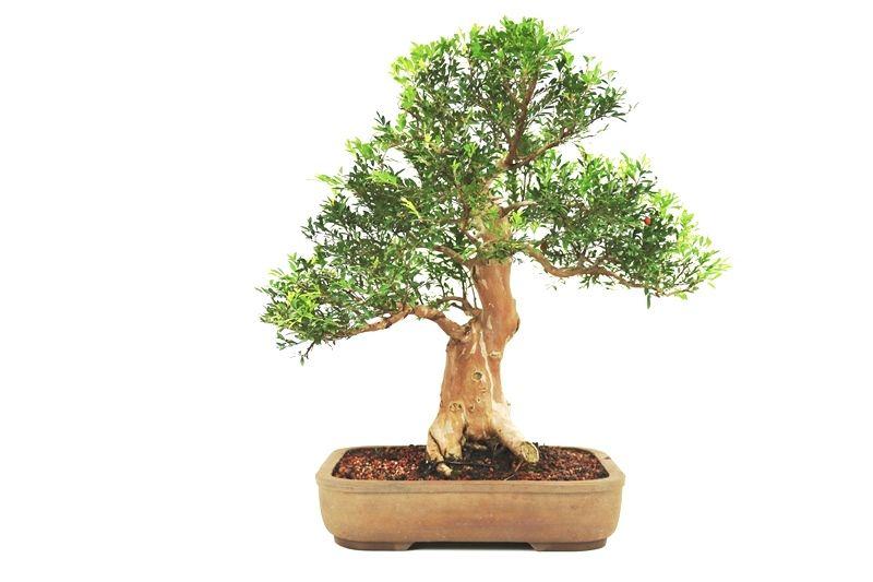 Bonsai Cambui  18 anos - medida da planta (AxL) 50x55 cm