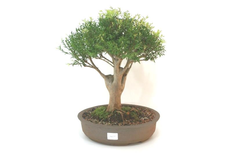 Bonsai Cambui  12 anos - medida da planta (AxL) 28x30 cm