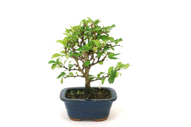 Bonsai Carmona aproximadamente 03 anos - medida da planta (AxL) 18x19 cm