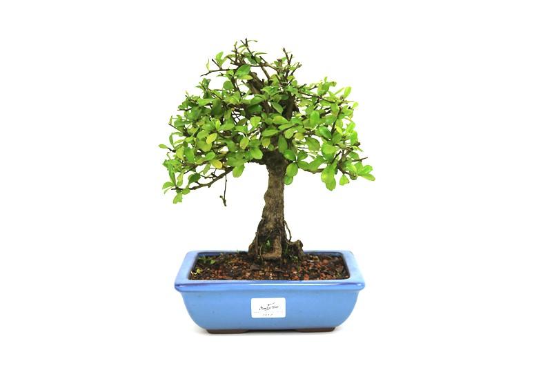 Bonsai Carmona aproximadamente 06 anos - medida da planta (AxL) 24x21 cm