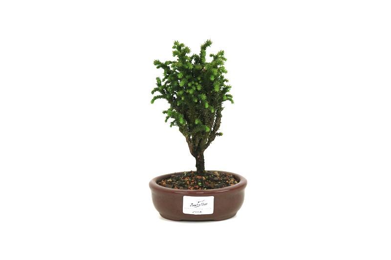 Bonsai Cedro do Japão  02 anos - medida da planta (AxL) 14x08 cm