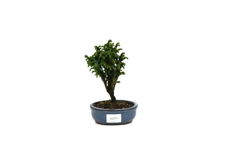 Bonsai Cedro do Japão  02 anos - medida da planta (AxL) 15x10 cm