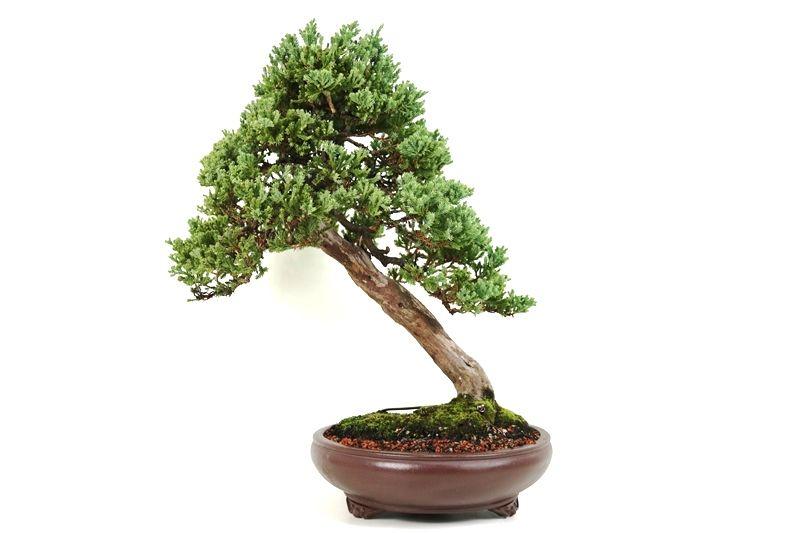 Bonsai Cedro Jacare 16 anos - medida da planta (AxL) 50x50 cm