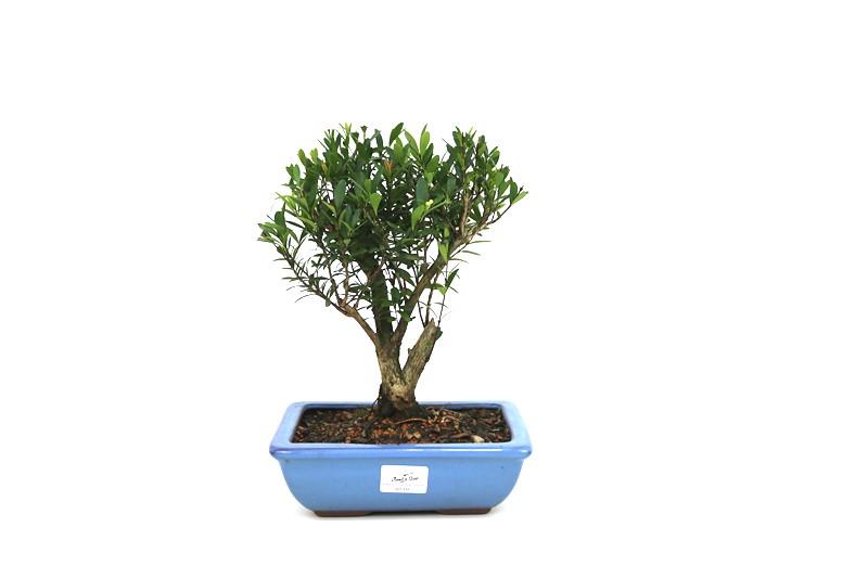 Bonsai Cereja Anã 06 anos - medida da planta (AxL) 22x18 cm