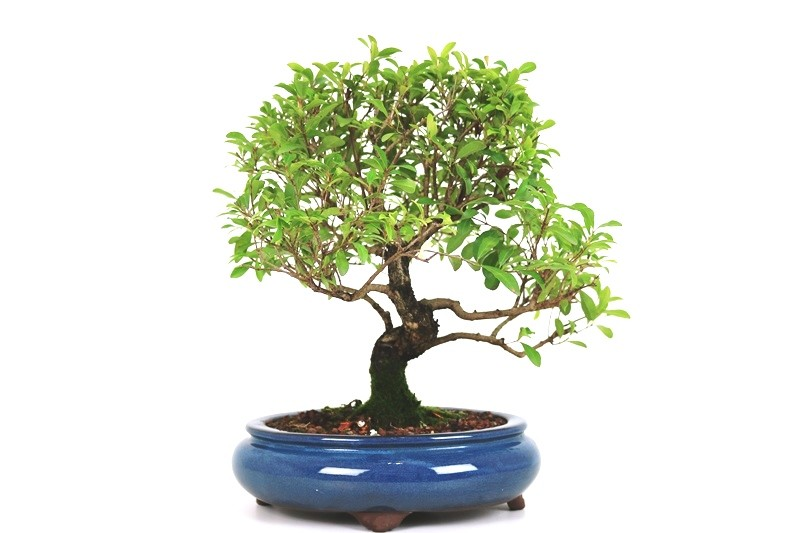 Bonsai Cereja Australiana 12 anos - medida da planta (AxL) 33x34 cm