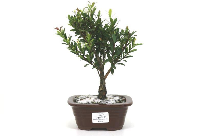 Bonsai Cereja silvestre 03 anos - medida da planta (AxL) 20x15 centímetros