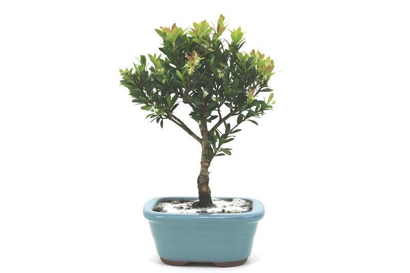 Bonsai Cereja silvestre 03 anos - medida da planta (AxL) 21x18 centímetros