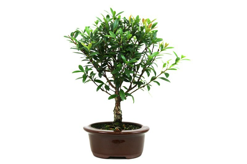 Bonsai Cereja silvestre 03 anos - medida da planta (AxL) 22x20 centímetros