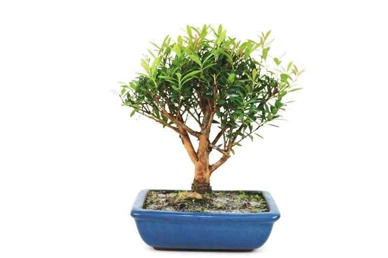 Bonsai Cereja silvestre 06 anos - medida da planta (AxL) 24x24 cm